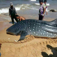 Cá mập voi 1,5 tấn sa lưới ngư dân Trung Quốc