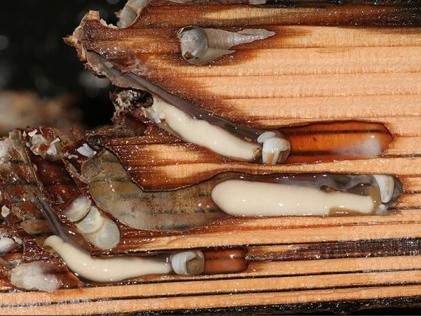 Ở phía đuôi hà có hai ống và hai ống này có thể thò ra thụt vào.