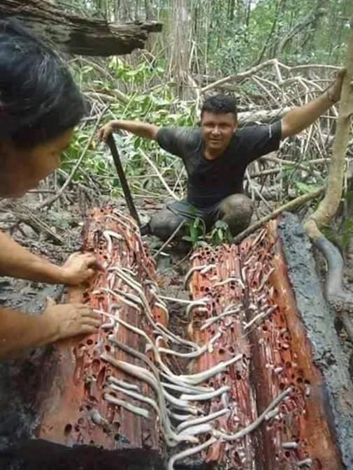 Đây là kết quả sau khi một người đàn ông bổ dọc thân cây ngâm trong đầm lầy nhiều năm.