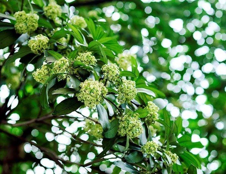 Ngắm hoa sữa mùa thu Hà Nội để mỗi người tìm lại trong tâm hồn mình một khoảnh khắc và chút hương dịu nhẹ dưới tán hoa sữa, nơi con phố đi qua.