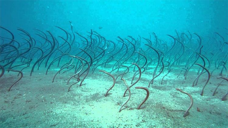 Đàn cá chình vườn giống hệt đám tóc dưới đáy biển.