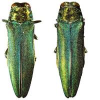 Sát thủ phóng điện diệt bọ cánh cứng lúc giao phối