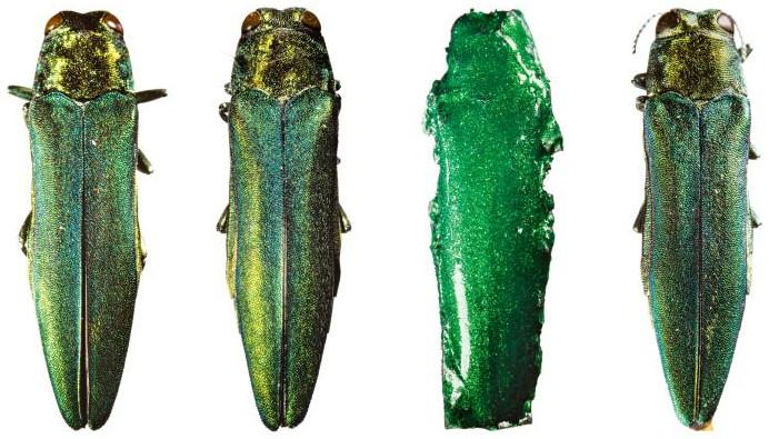 Con bọ cánh cứng EAB giả nằm ở vị trí thứ hai từ phải sang.