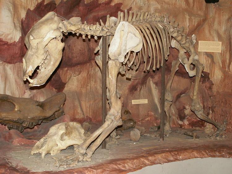 Hóa thạch của gấu hang động.