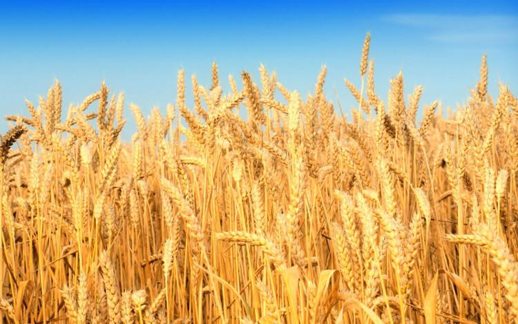Con đường quang hợp của lúa mì đã tiến hóa 100 triệu năm trước.