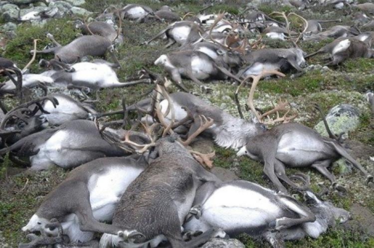 Xác tuần lộc chết la liệt trên đồng cỏ Na Uy.