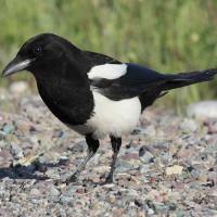 Những sự thật cực thú vị về loài chim ác là