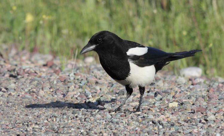 Chim ác là là loài chim ít di chuyển.