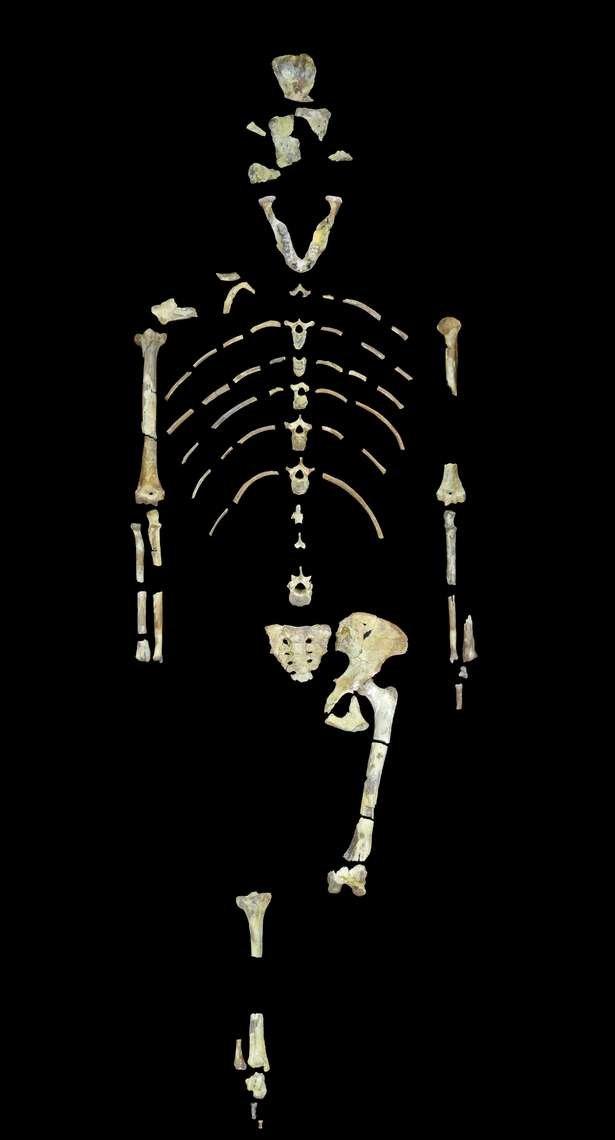 Bộ xương hoá thạch của người vượn cổ được các nhà khoa học xác định là được tìm thấy 40%.