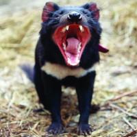 Quỷ Tasmania có thể tránh được tuyệt chủng nhờ tự biến đổi gene