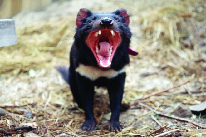 Quỷ Tasmania sống tại đảo Tasmania của Australia.