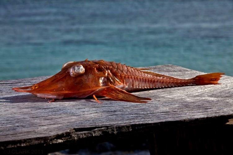 Cá chào mào gai rất được săn đón do hình dáng và cấu tạo đặc biệt.