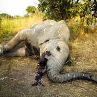 Châu Phi đau đớn, bất lực đứng nhìn 1/3 đàn voi của mình ra đi trong 7 năm vừa qua
