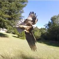 Video: Chim ưng đuôi đỏ lao tới tấn công máy bay không người lái