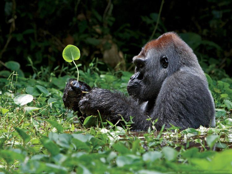 Nạn săn bắt trái phép ở châu Phi đã đẩy loài khỉ đột miền Đông đến bờ vực tuyệt chủng.