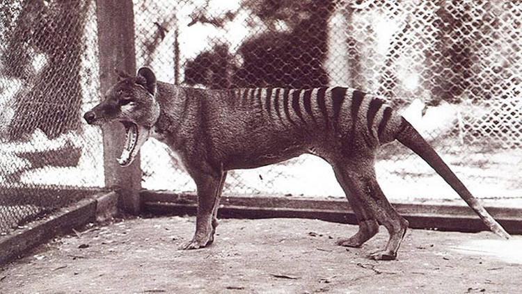 Hổ Tasmania
