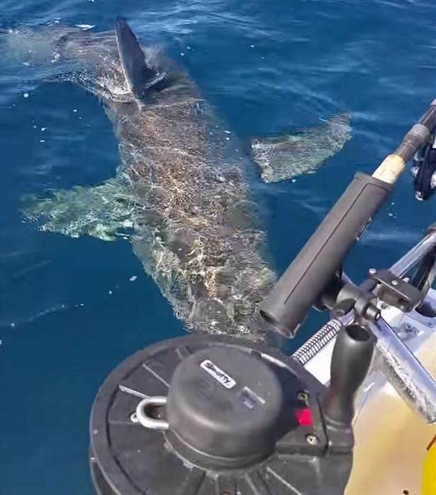 Con cá mập trắng cắn động cơ tàu cá của ngư dân Australia.