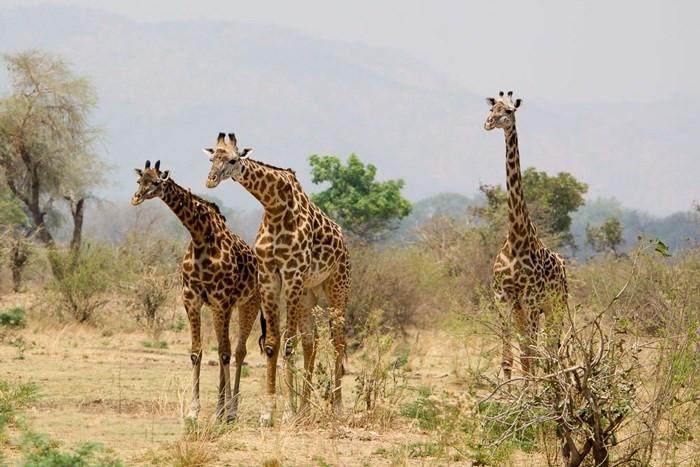 Số lượng hươu cao cổ ở châu Phi đang sụt giảm mạnh.