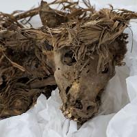 Bất ngờ trước hài cốt chó hiến tế cách đây 1.000 năm ở Peru