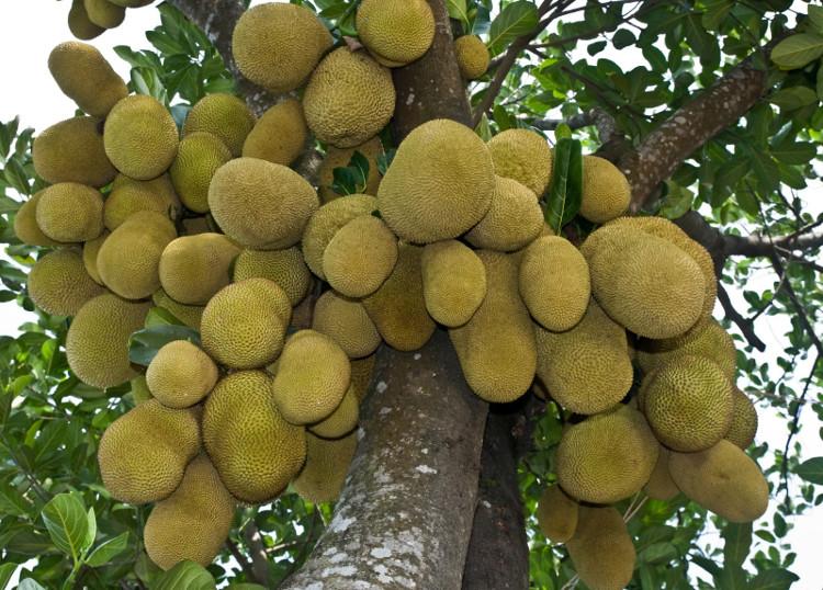 Cây mít khi trưởng thành hoàn toàn có thể sản xuất 150-200 trái mít một năm.