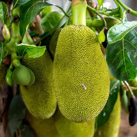 """Việt Nam sở hữu loại quả được mệnh danh là """"cứu tinh của thế giới"""""""