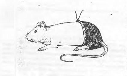 Ảnh thể hiện trong nghiên cứu chuột mặc quần