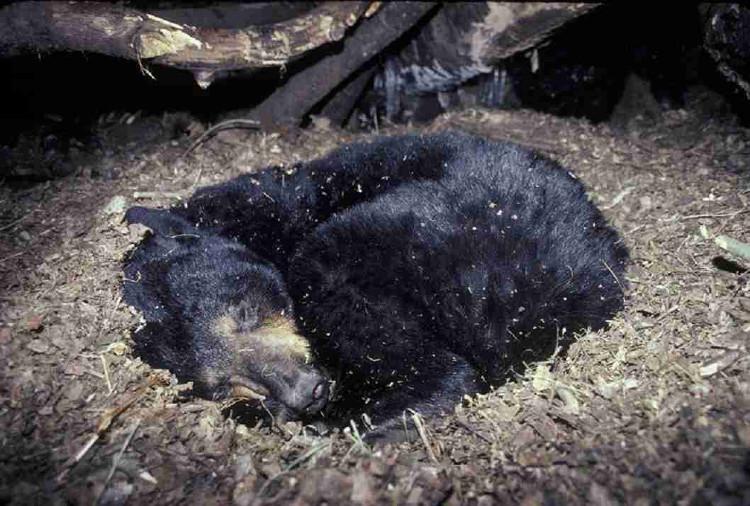 Trong 5 - 7 tháng ngủ đông, gấu tích tụ một lượng phân có đường kính lên tới 6,4cm.