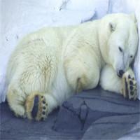 Gấu đi WC như thế nào khi ngủ đông?