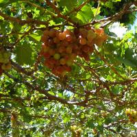 Trung Quốc trồng nho trên vũ trụ để chế rượu vang ngon