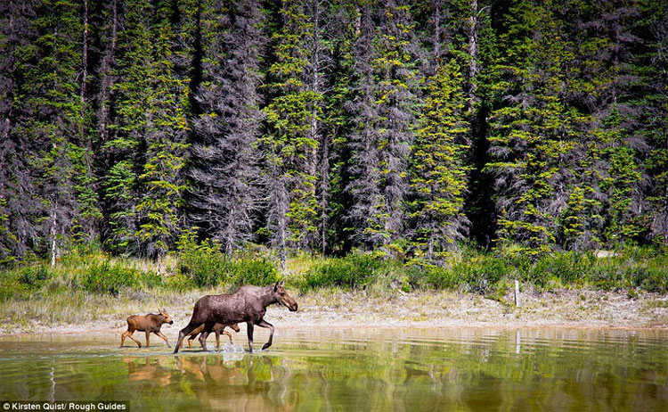 Tác giả Kristen Quist chụp được hình ảnh thanh bình của một con bò mẹ dẫn hai con đi qua hồ nước nông gần Nordegg, Alberta, Canada.