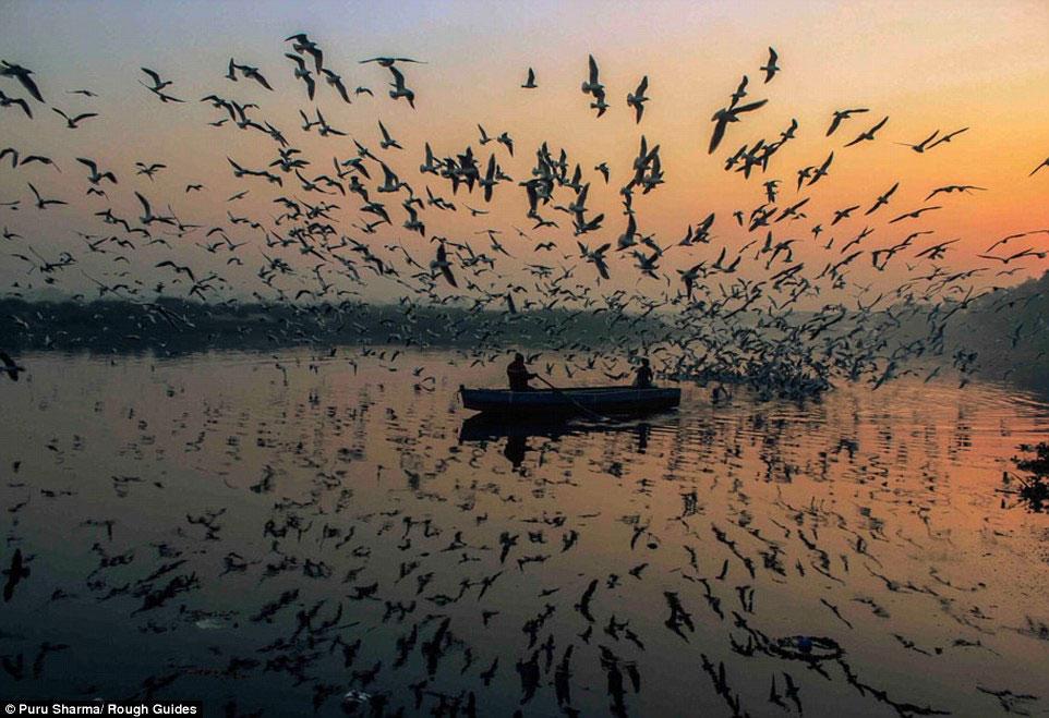Nhiếp ảnh gia Puru Sharma lại ghi được khoảnh khắc đàn chim tung cánh bay trong ánh trời tàn