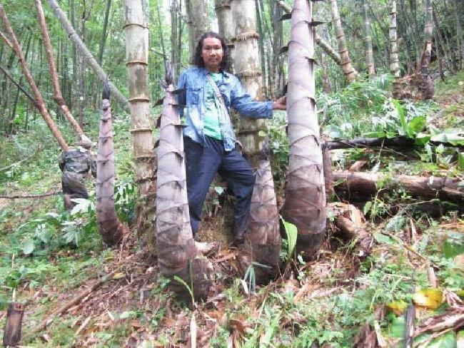 Cây tre khổng lồ này nằm trong đồn điền của anh Naga Sen