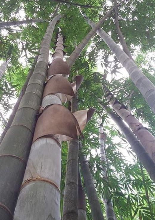 Loại tre này chỉ cần tưới đủ nước là cây có thể phát triển khỏe mạnh.