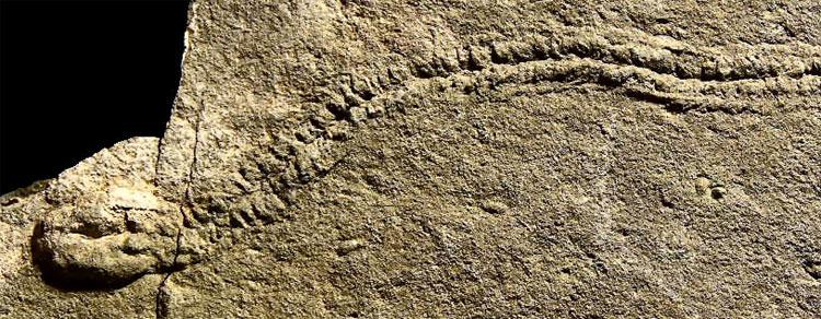 Các hóa thạch của những loài vi khuẩn trong kỷ Ediacaran (trái) và vết tích được tái tạo lại từ thí nghiệm trong phòng thí nghiệm của các nhà khoa học (phải).