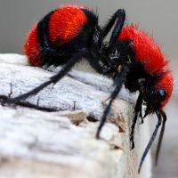 """Trải nghiệm nỗi đau tê buốt khi cố tình để loài """"kiến"""" cow killer đốt"""