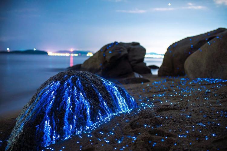 Họ dùng những chiếc bình thủy tinh để bắt tôm, sau đó đổ lên bãi đá để chúng phát sáng trong khi bơi ra biển.