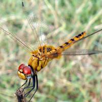 Chuồn chuồn - Nhà vô địch bay xa trong giới côn trùng
