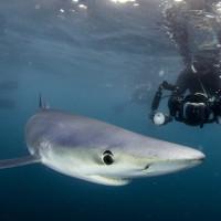 Chụp được cá mập xanh cực hiếm ngoài khơi nước Anh
