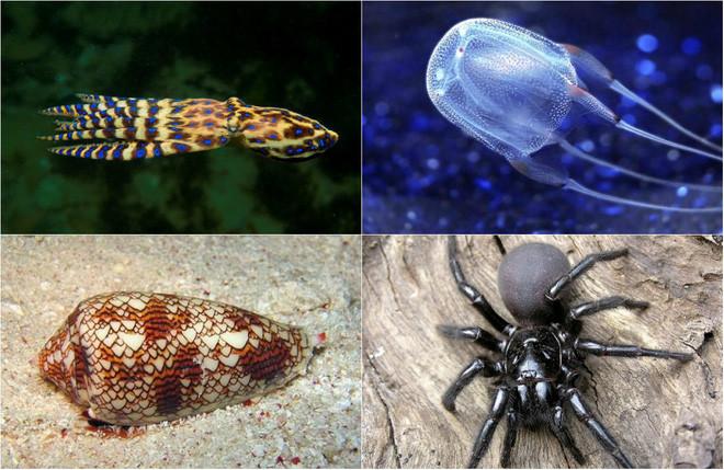 Bạch tuộc đốm xanh lớn, sứa hộp, ốc sên hình nón, nhện lưỡi phễu Sydney
