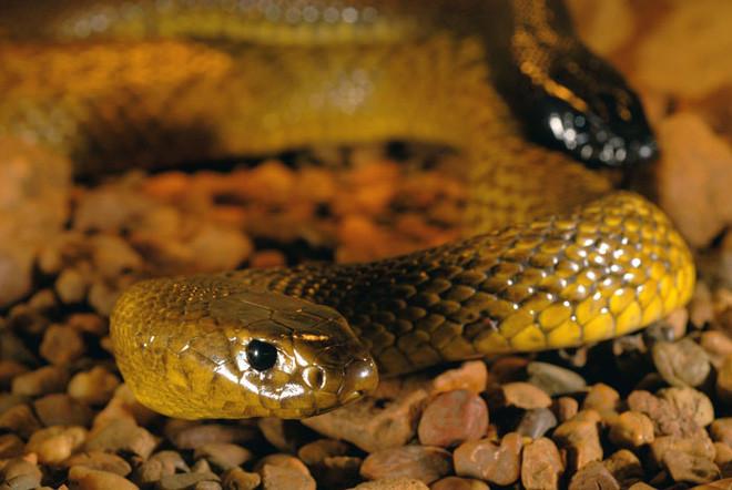 Rắn Taipan nội địa là loài rắn sở hữu nọc độc độc nhất so với bất kỳ loài rắn sinh sống trên cạn nào trên Trái Đất.