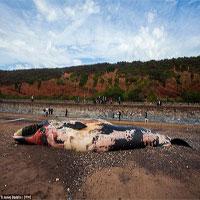 Xác cá voi khổng lồ dạt vào bờ, người dân lo sợ cú nổ nội tạng kinh hoàng