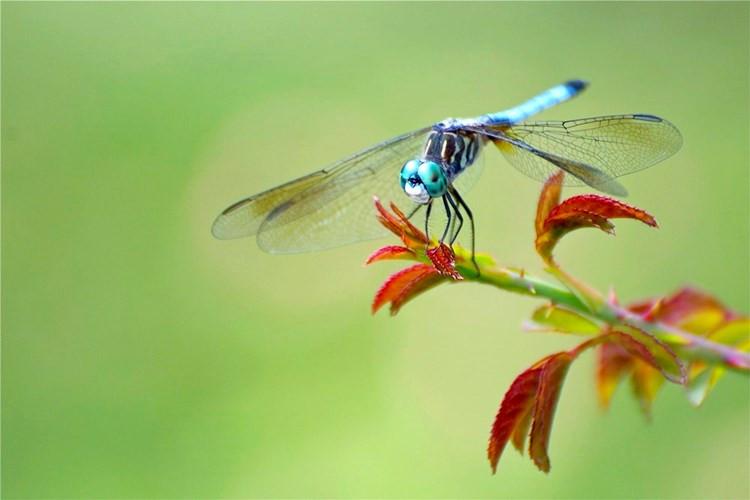 Chuồn chuồn xanh ăn tạp nhưng món ăn ưa thích nhất của chúng là ấu trùng muỗi.