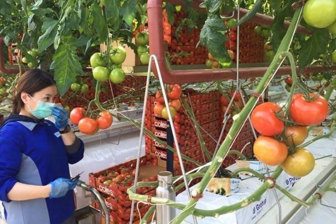 Thu hoạch cà chua cho hệ thống siêu thị Coles.
