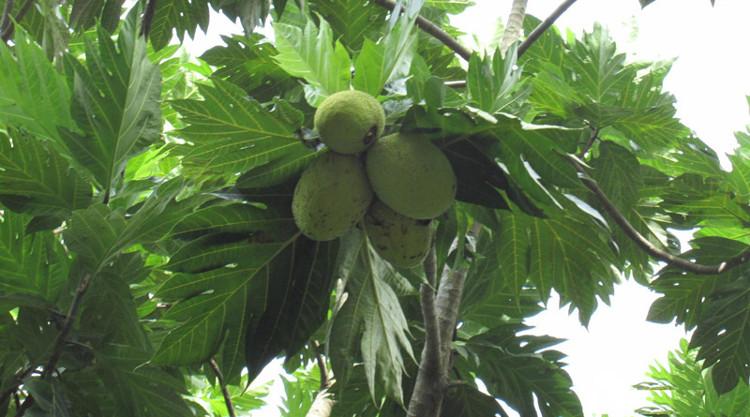 Cây sa kê là một loại cây xanh vừa đẹp lại vừa mang lại nhiều lợi ích.