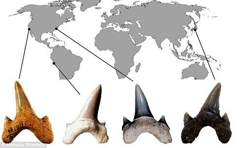 Hóa thạch răng của Megalolamna paradoxodon được tìm thấy ở nhiều nơi trên thế giới.
