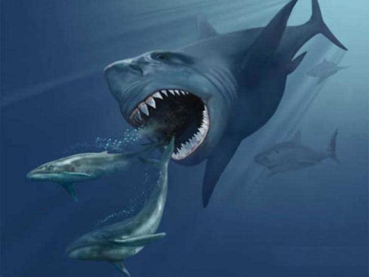 Cá mập Megalolamna paradoxodon sinh sống cách đây 20 triệu năm.