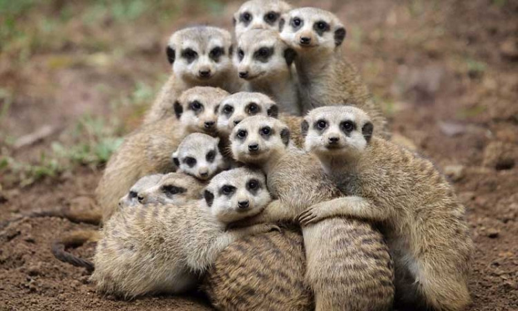 Chồn Meerkat là loài sát hại đồng loại nhiều nhất thế giới động vật.