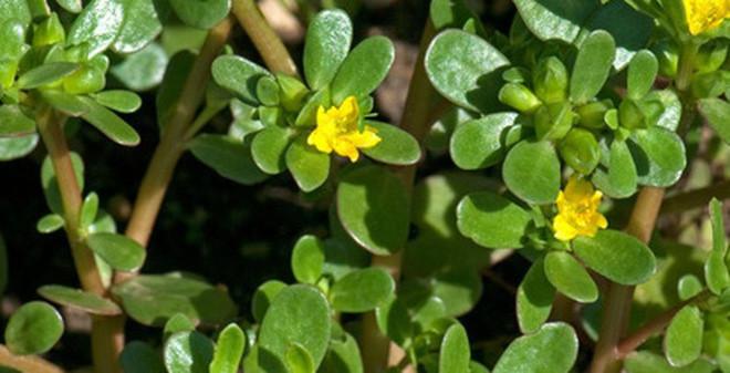Rau sam là loại cây mọc hoang dại ở các bãi cỏ, bờ ruộng...