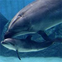 Cá heo mẹ giết con mới sinh vì không muốn nó bị giam cầm