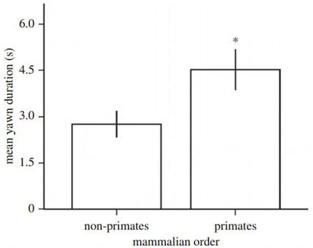 Động vật linh trưởng có thời gian ngáp trung bình lâu hơn phi linh trưởng
